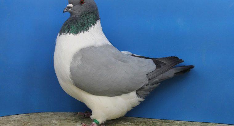 Strasser pigeon
