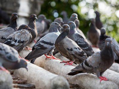 Como ahuyentar palomas