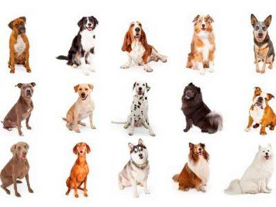 Perros medianos para cuidar palomares