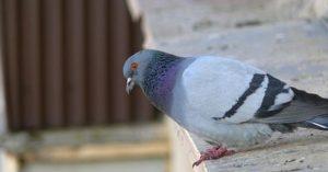 ahuyentador de palomas