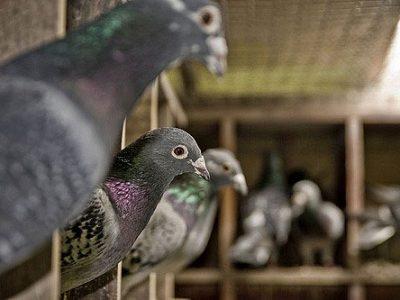 Libros sobre cuidado de las palomas